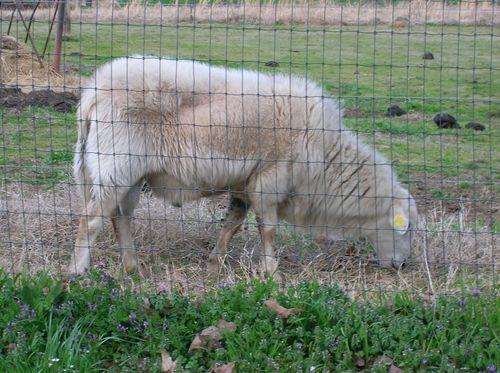 First Sheep