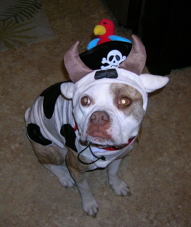 PirateCow