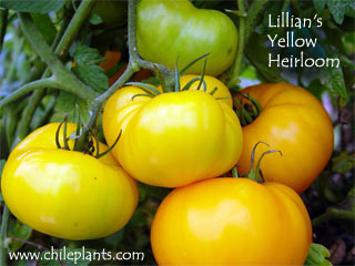 Lillians yellow