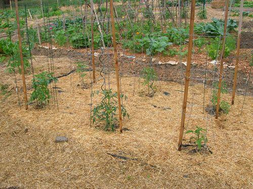 Tomatoes 6.17.12