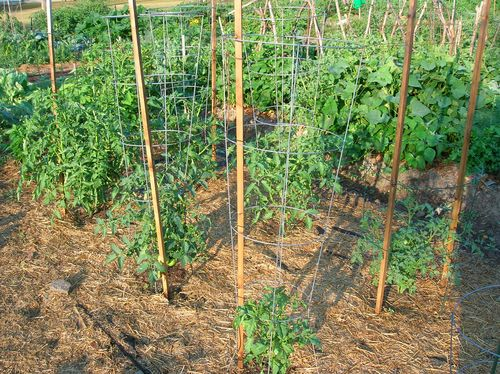 July1 tomatoes
