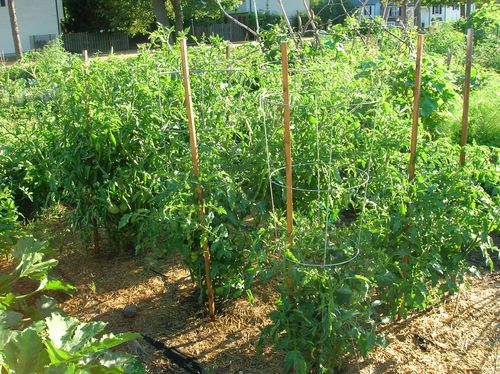 July20tomatoes