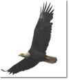 Eagle_flight